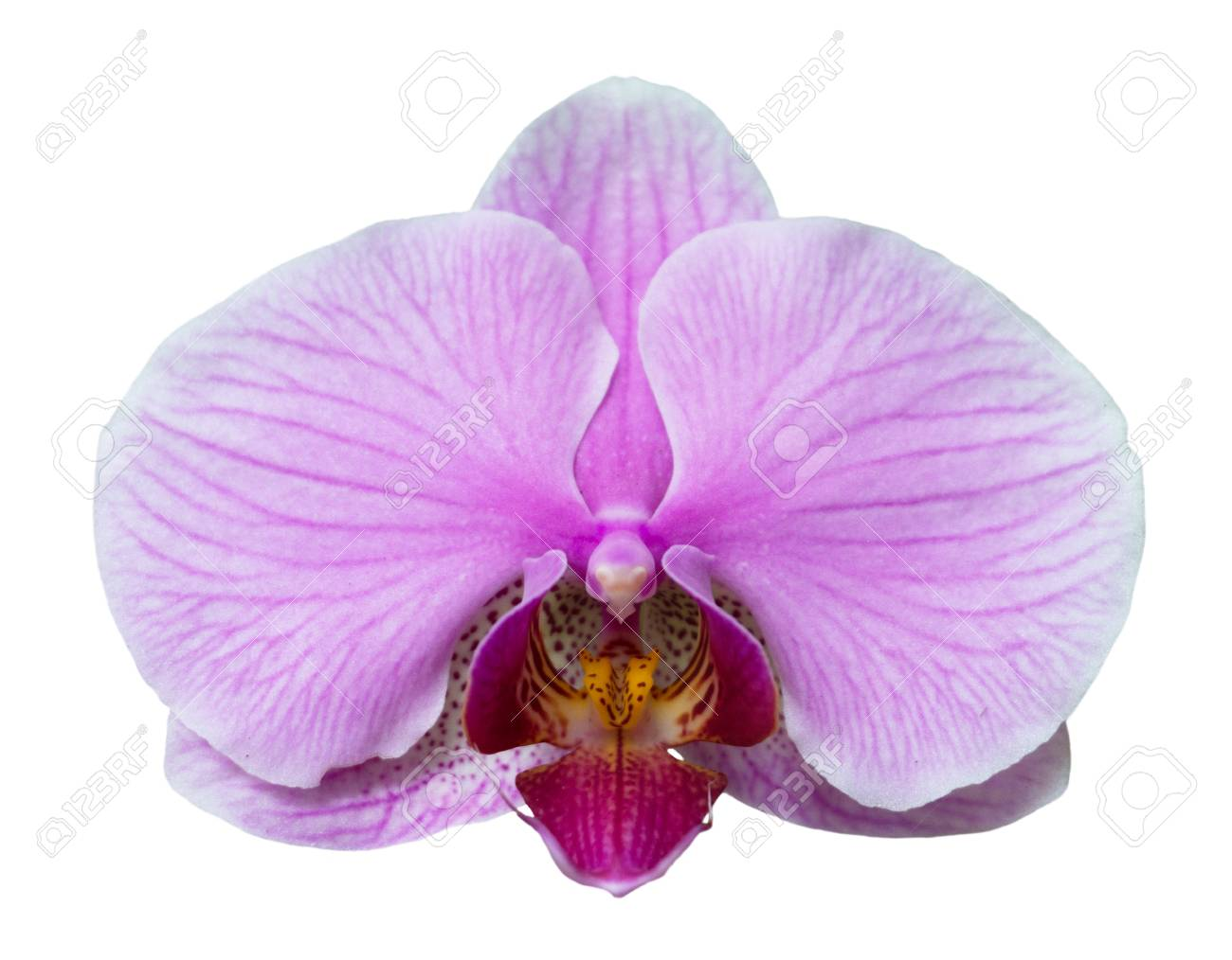 Orchid Isolated On White Background Single Flower With Lilac