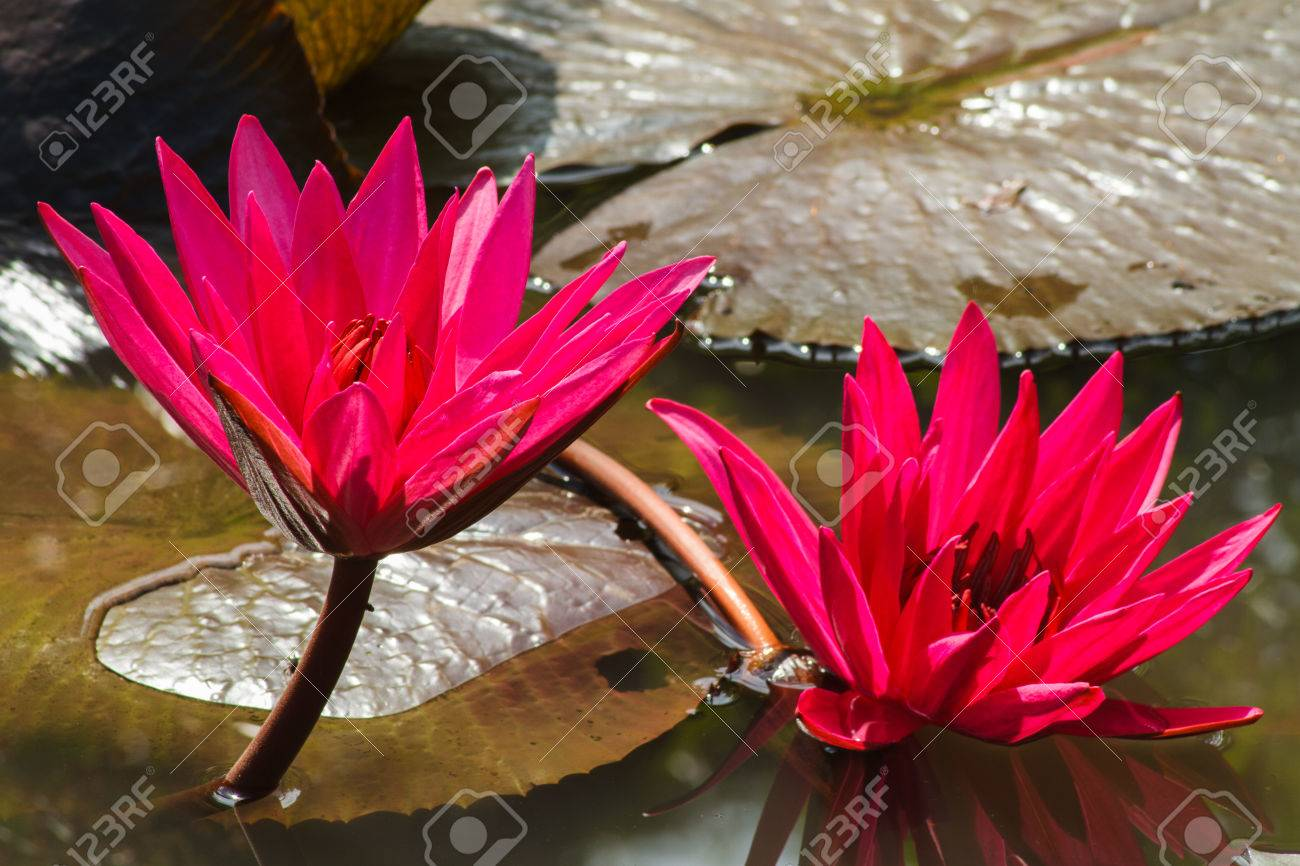 Red lotus flower in pond stock photo picture and royalty free image red lotus flower in pond mightylinksfo