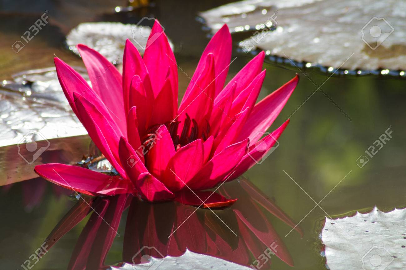 Red lotus flower in pond stock photo picture and royalty free image red lotus flower in pond stock photo 27464041 mightylinksfo