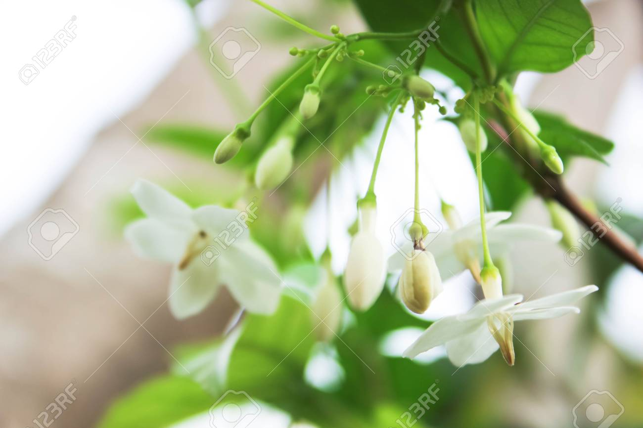 Wrightia religiosa or fragrant white flowers white flower wrightia stock photo wrightia religiosa or fragrant white flowers white flower wrightia religiosa apocynaceae wild water plum flowers white flowers with green mightylinksfo