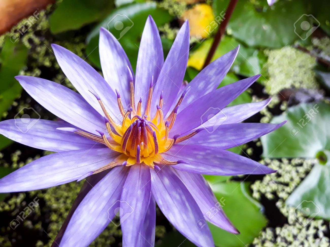 Pink Lotus Flower Blooming On The Water With Leaf Beautiful Stock