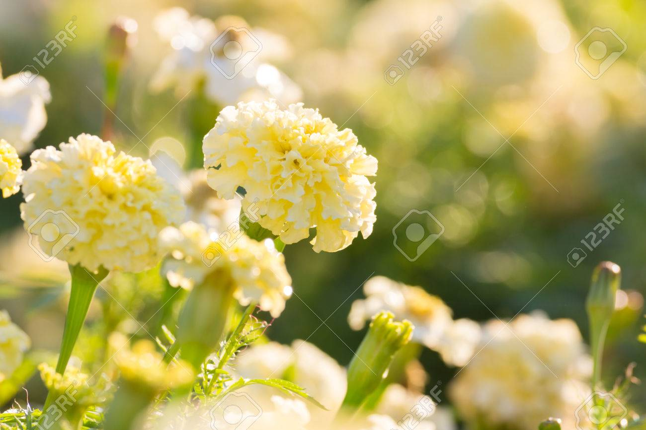 White Marigold Flower In The Morning Stock Photo Picture And