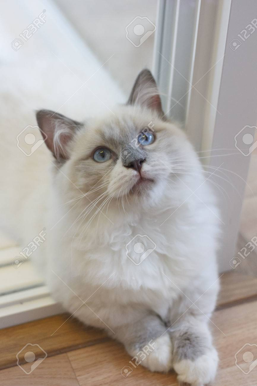 Young Cute Persian Munchkin Cat, With White And Grey Color Long ...