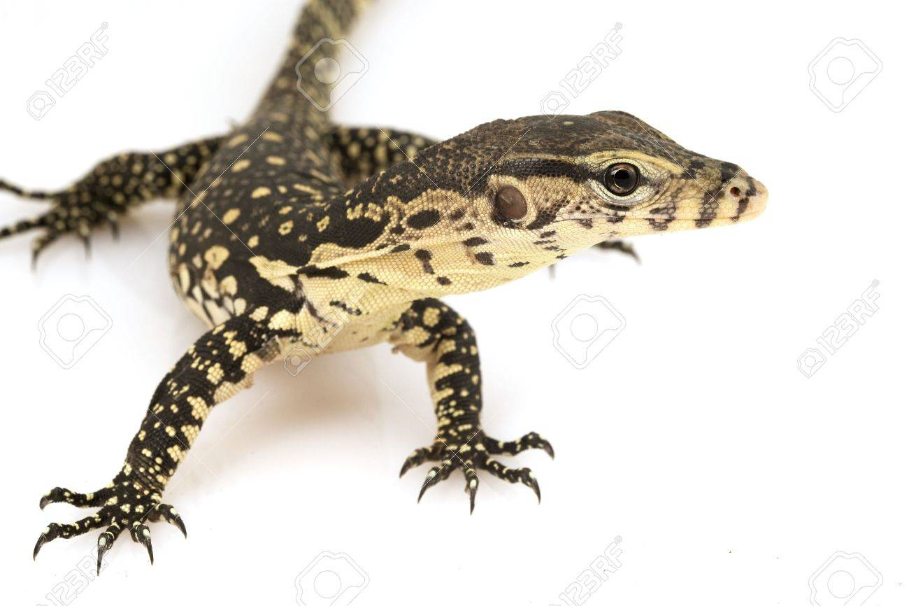 3419418-Asian-Water-Monitor-Lizard-Varanus-salvator-on-white-background--Stock-Photo.jpg