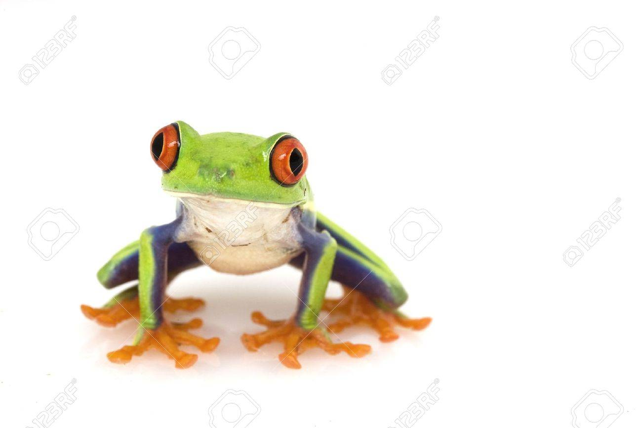 red eyed tree frog agalychnis callidryas on white background