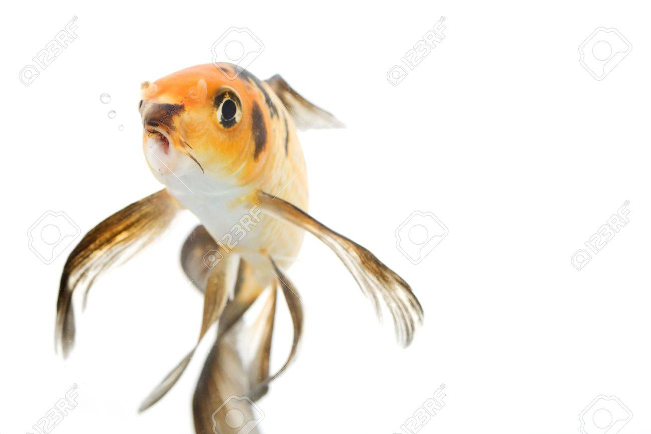 Butterfly Koi Fish Cyprinus Carpio On White Background Stock Photo Picture And Royalty Free Image Image 3918793