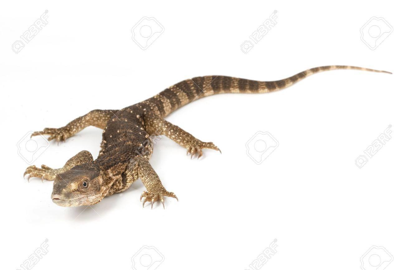 White Throated Monitor Lizard Varanus Exanthematicus Albigularis