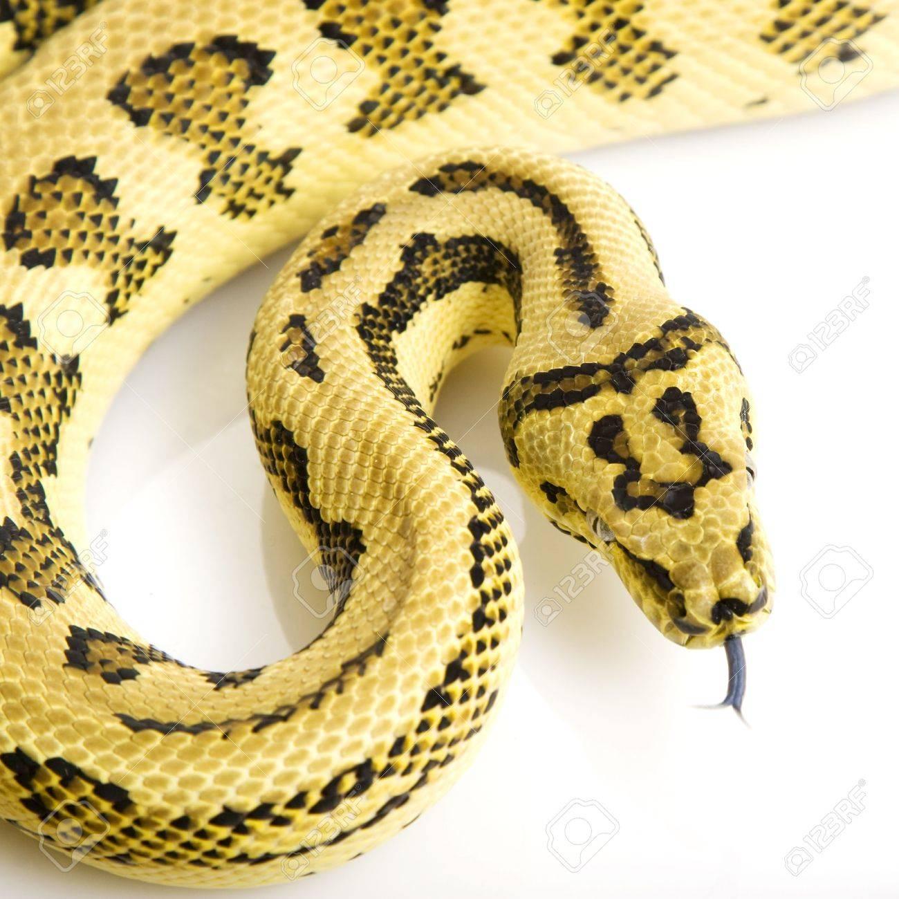 Jungle Jaguar Carpet Python (Morelia spilota variegata) on white background. Stock Photo -