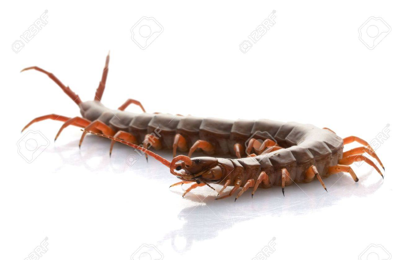 Vietnamese Giant Centipede (Scolopendra subspinipes) isolated