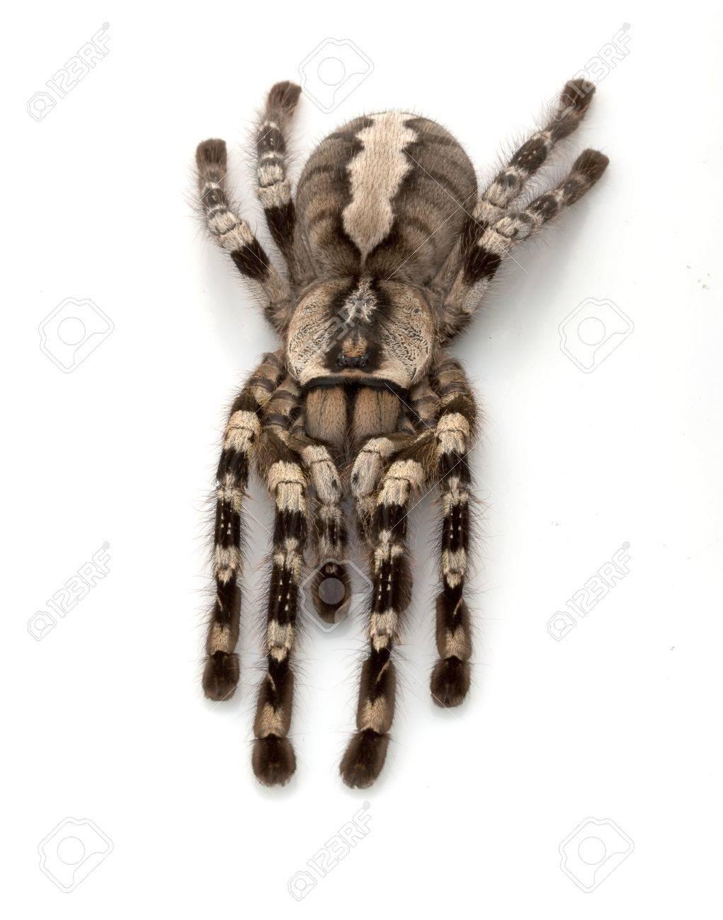Indian Ornamental Tarantula Indian Ornamental Tarantula