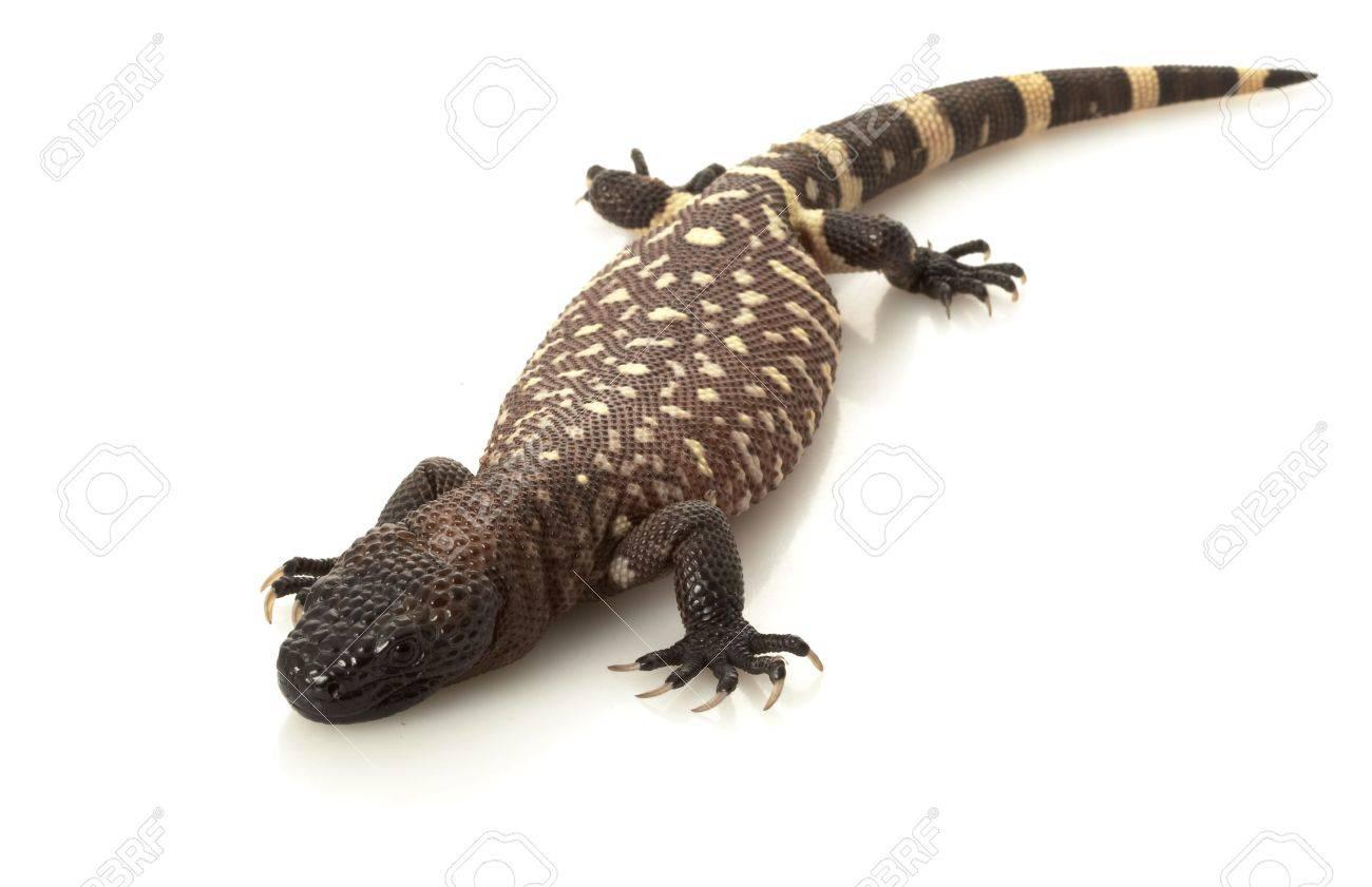 Mexican Beaded Lizard Heloderma Horridum Isolated On White