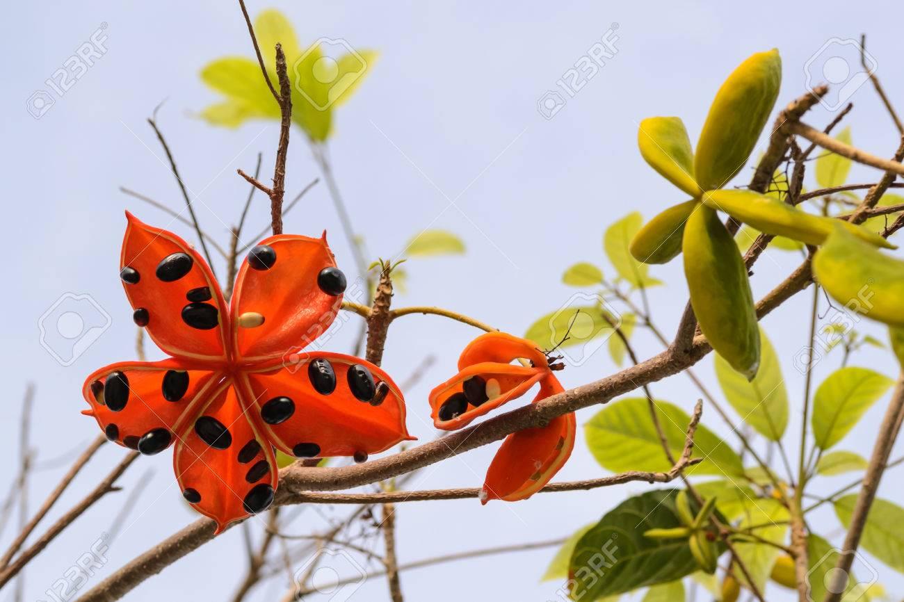Kết quả hình ảnh cho Sterculia lanceolata