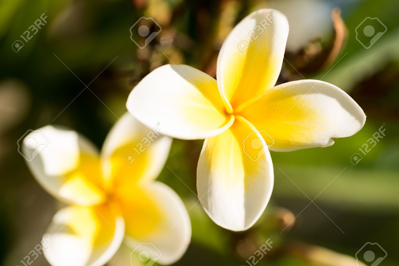 Four Petals White Plumeria Flowers On The Tree Stock Photo Picture