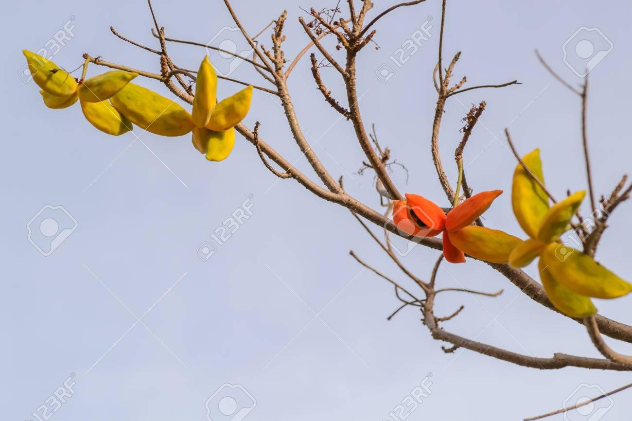 種子ピンポンノキ属蔓木、南アジ...