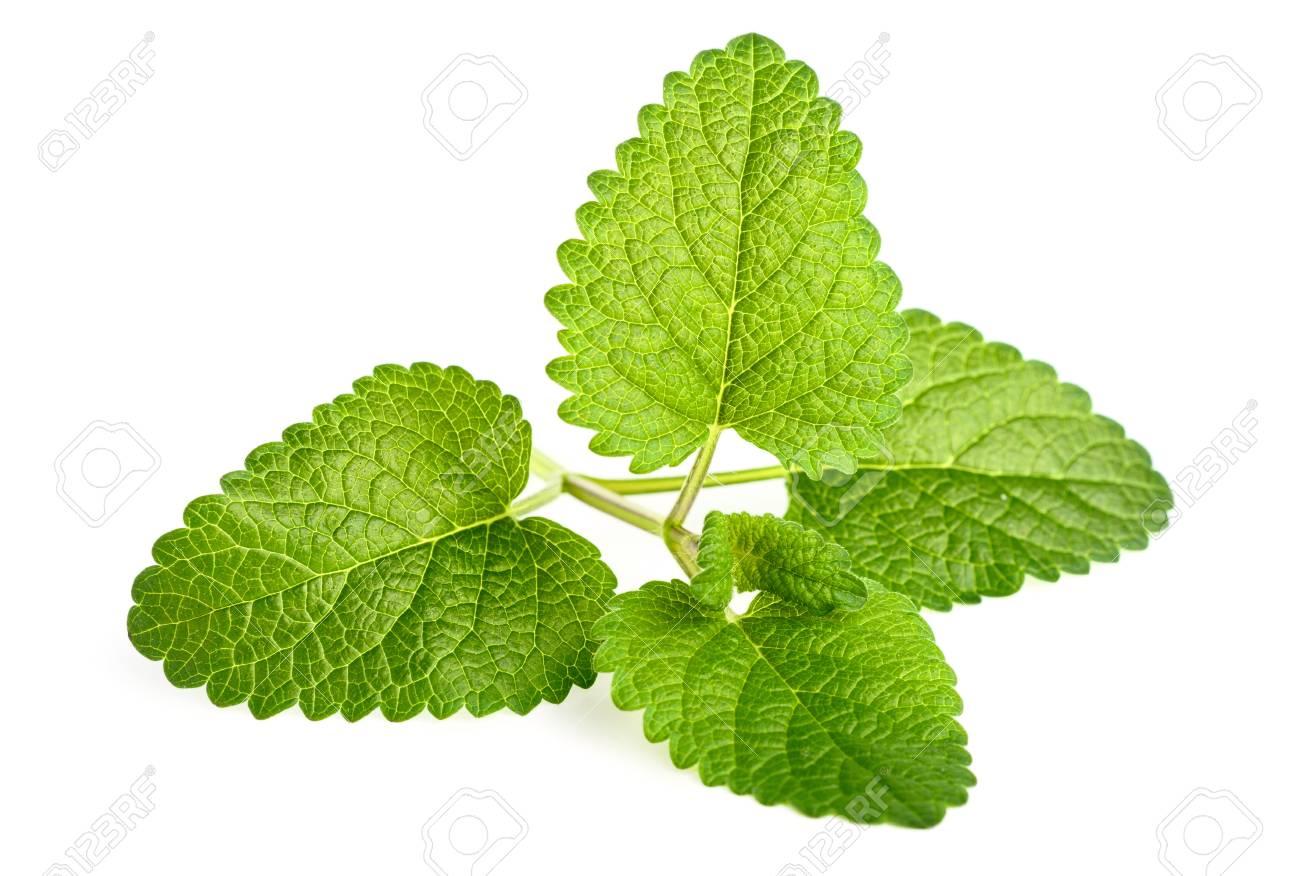 fresh lemon balm leaves isolated on white - 93366550