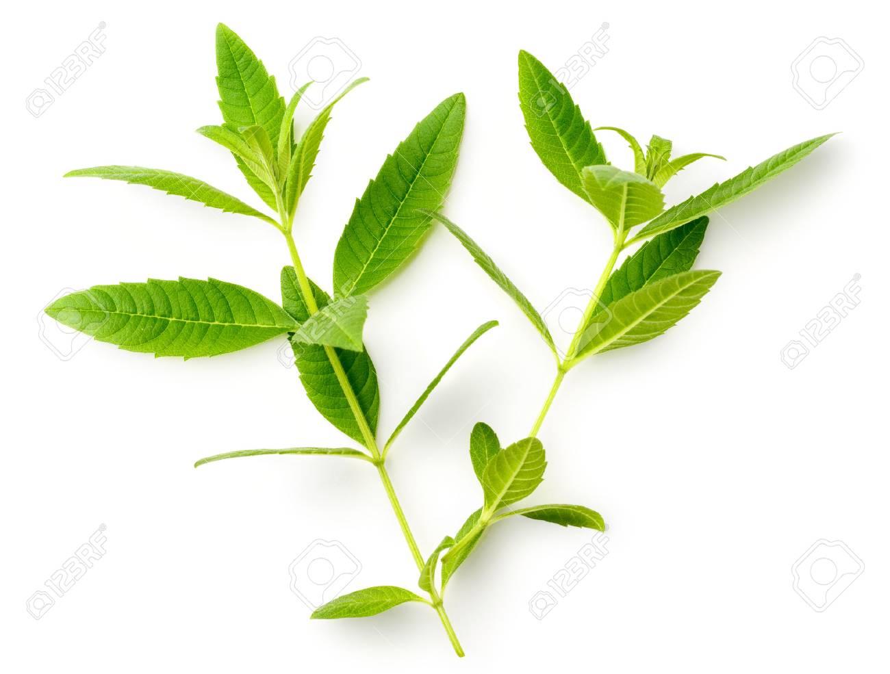 fresh lemon verbena leaves isolated on white - 93689544