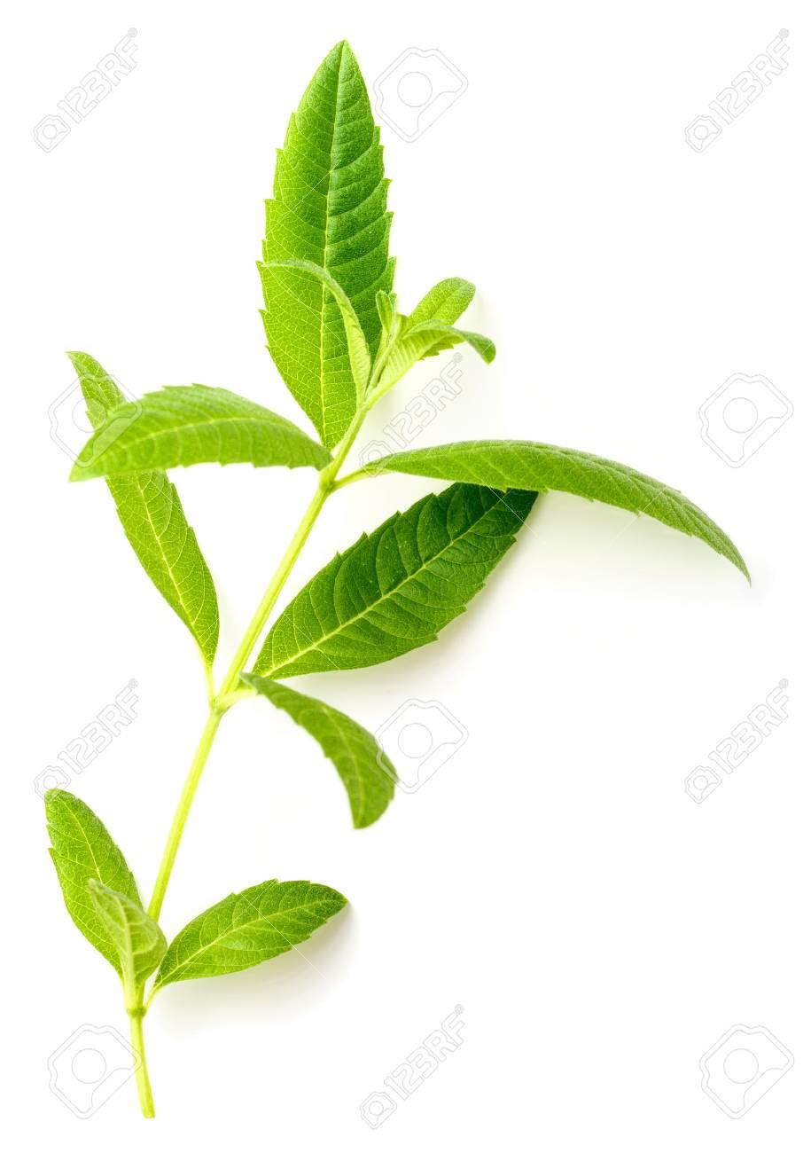 fresh lemon verbena leaves isolated on white - 93689563