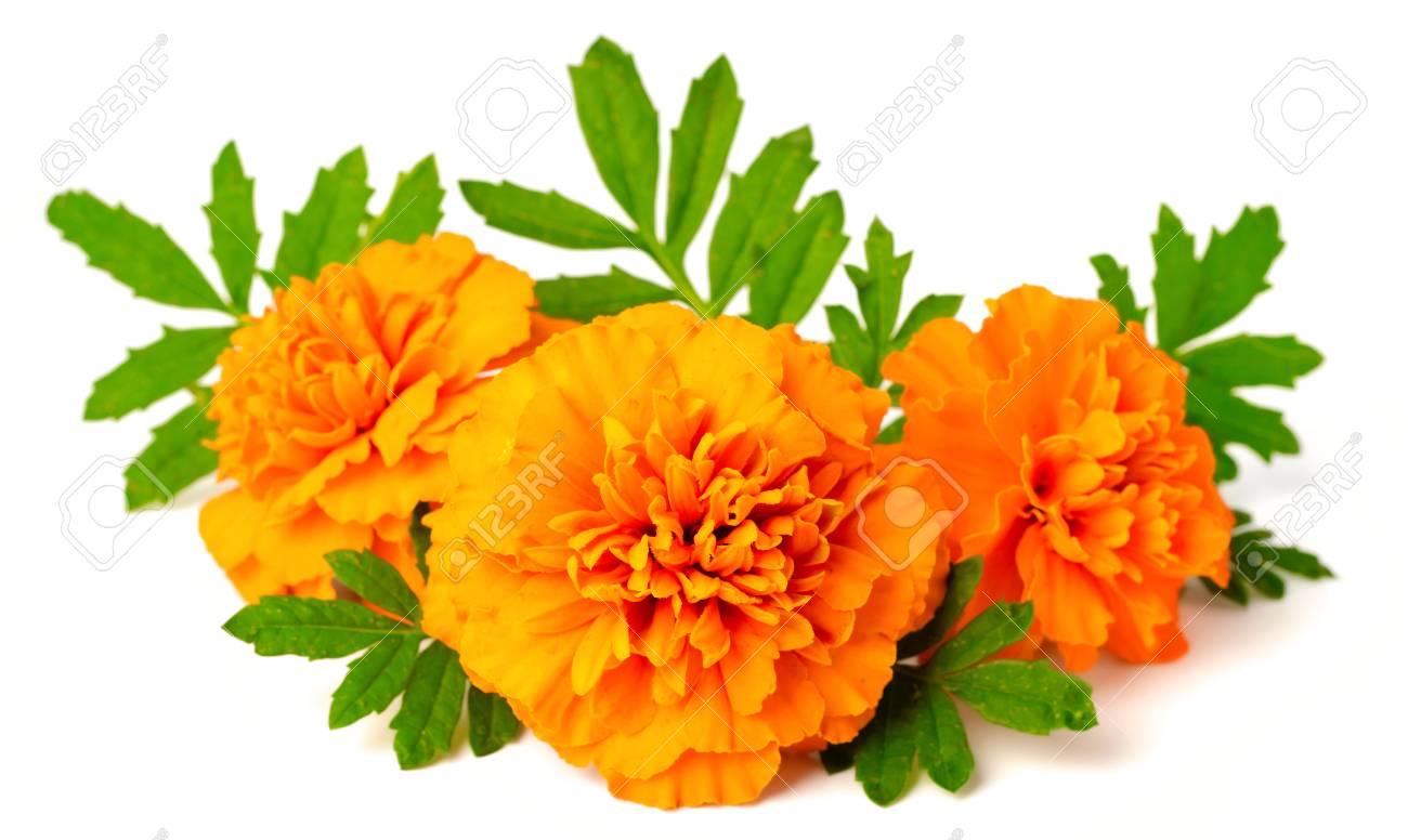 fresh marigold flowers isolated on white background - 95051902