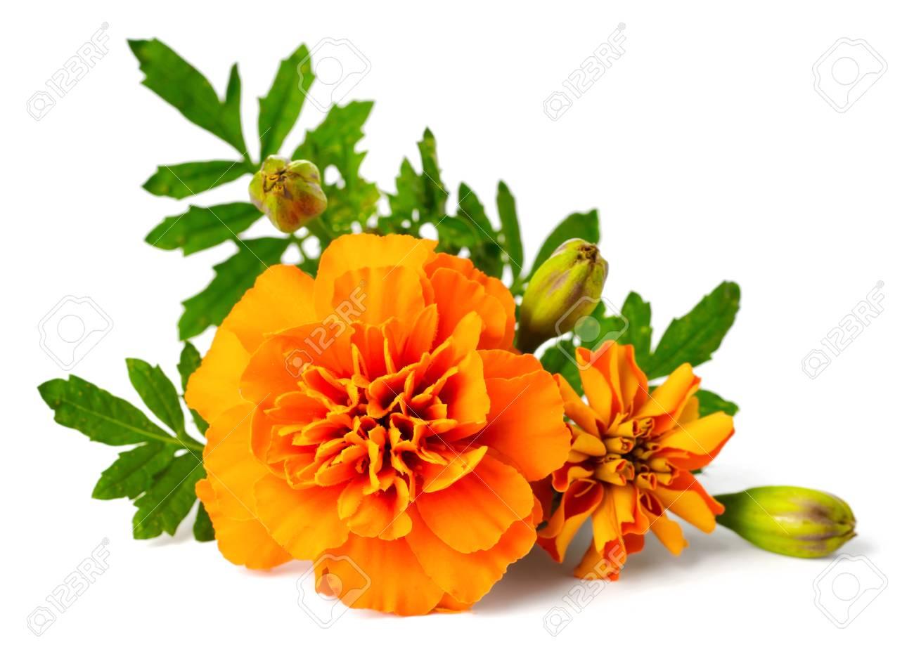 closeup of fresh marigold flower isolated on white - 95113671