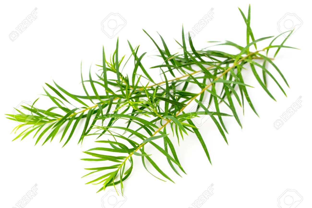 fresh tea tree leaves isolated on white background - 96048357