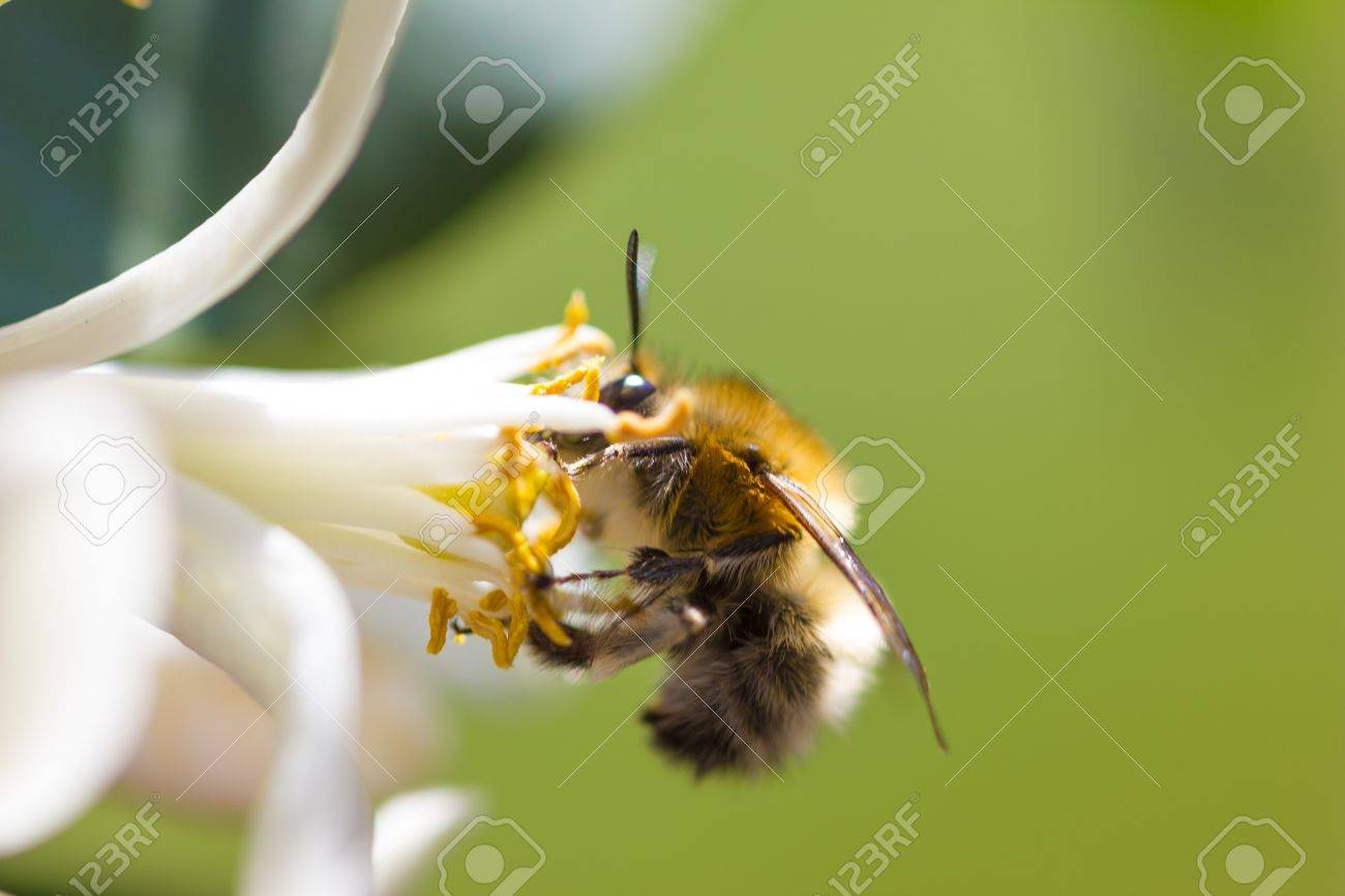 macro of a furry bumblebee drawing nectar from a lemon flower