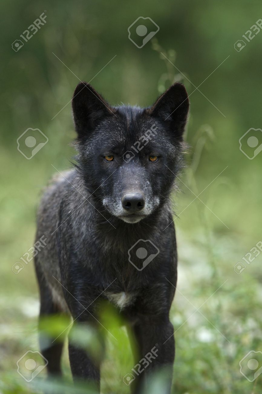 Black timber wolf (Canis lupus) - 10028935