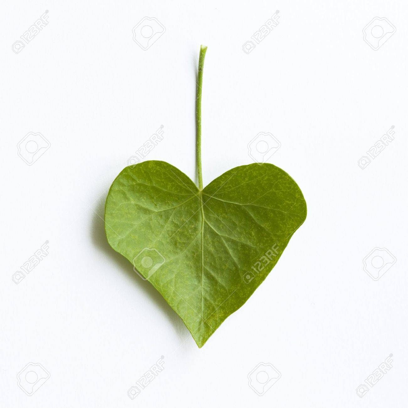 Heart-shaped ivy leaf isolated on white - 10773735