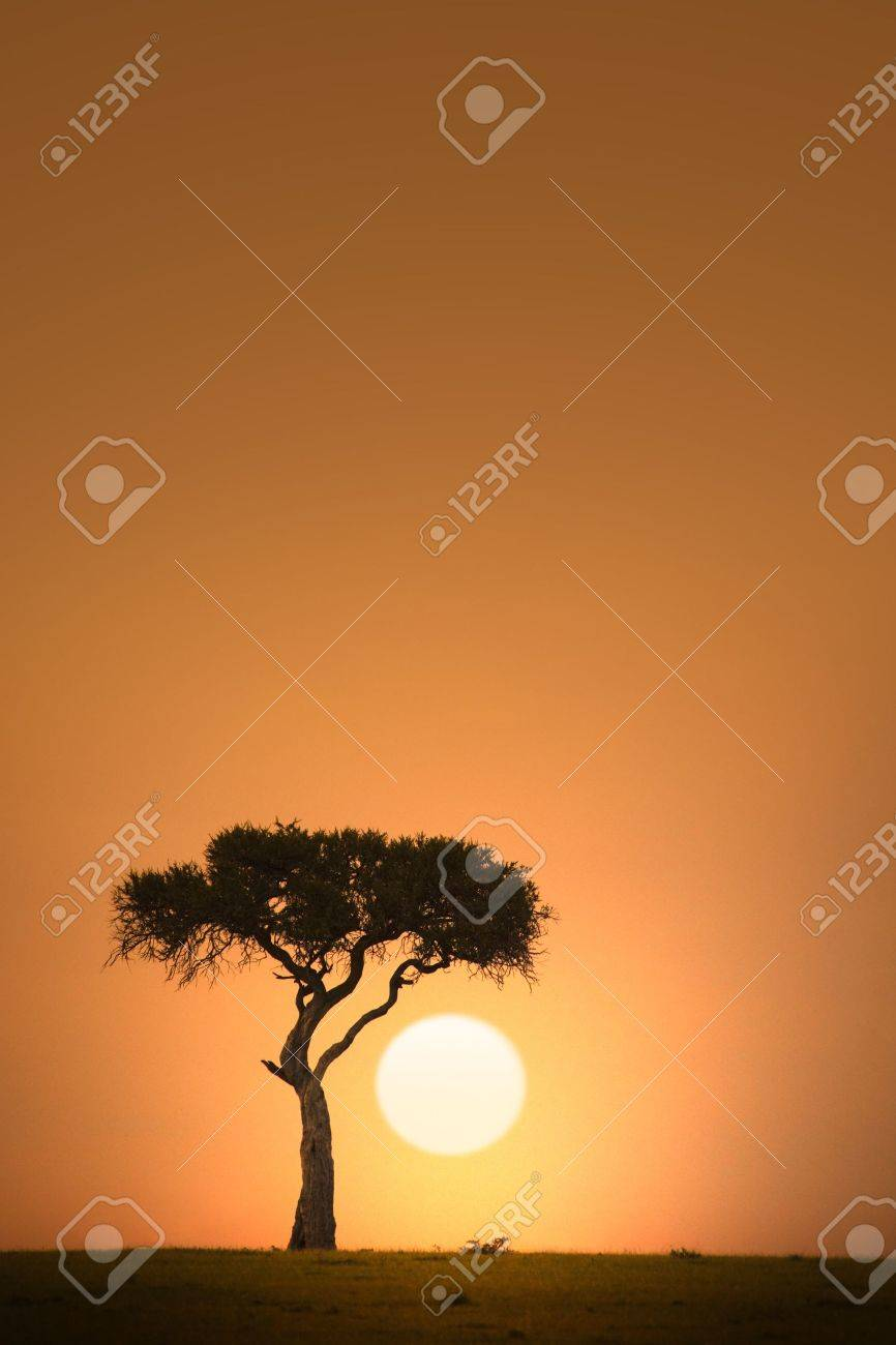 African acacia tree silhouette at sunset - 11155008