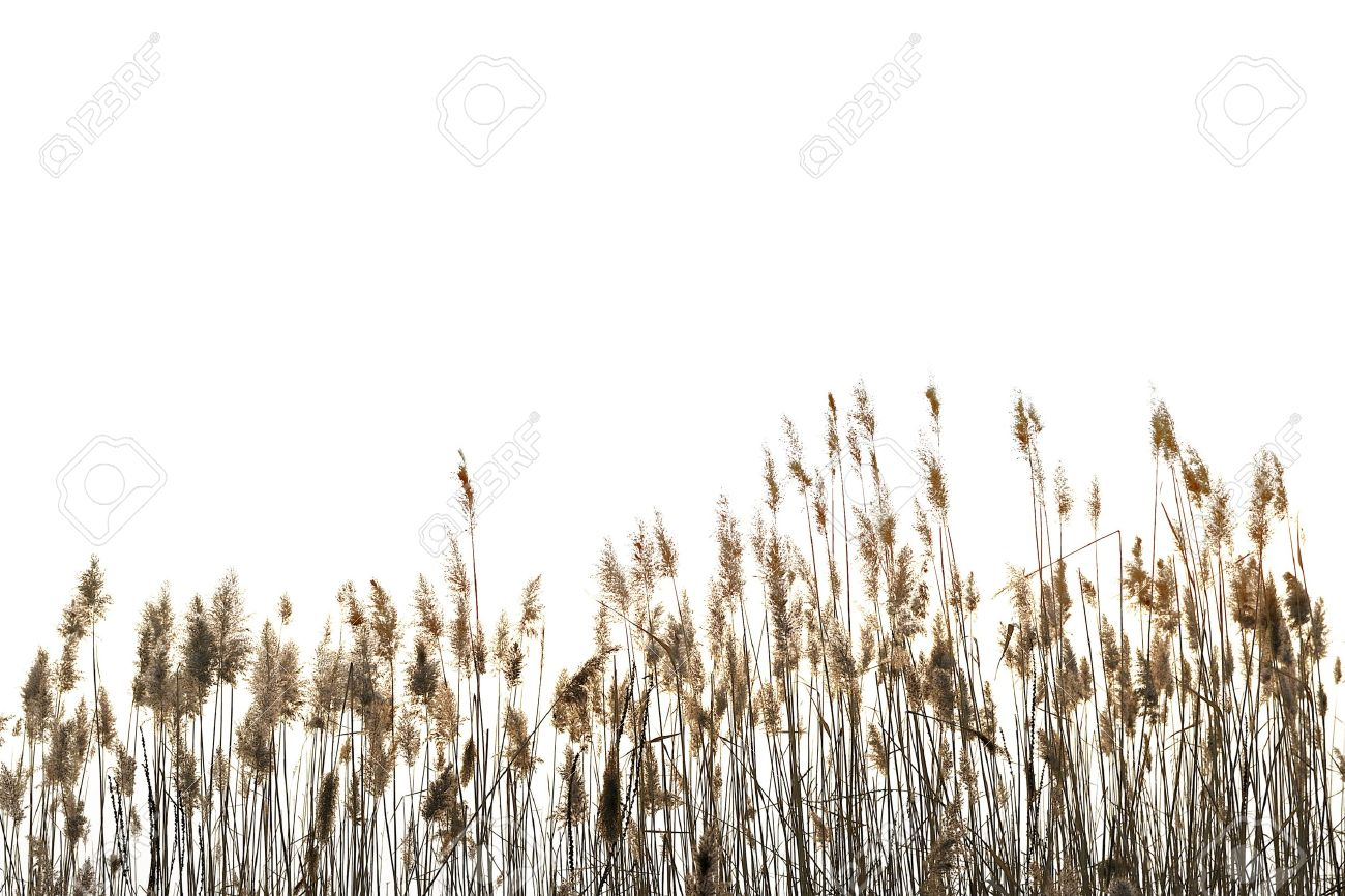 Reed against white background - 15934809