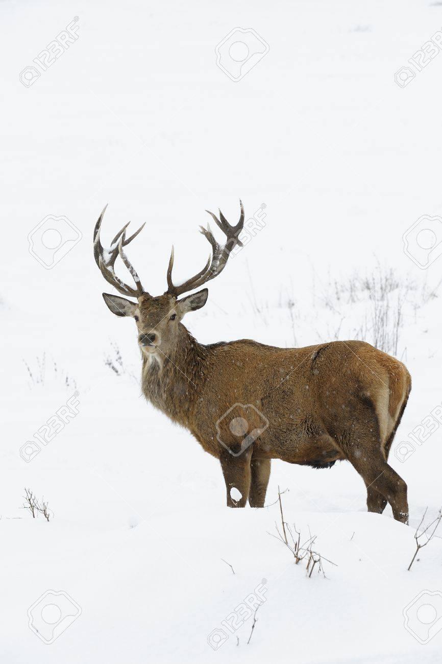 Red deer Cervus elaphus in winter snow - 17102119