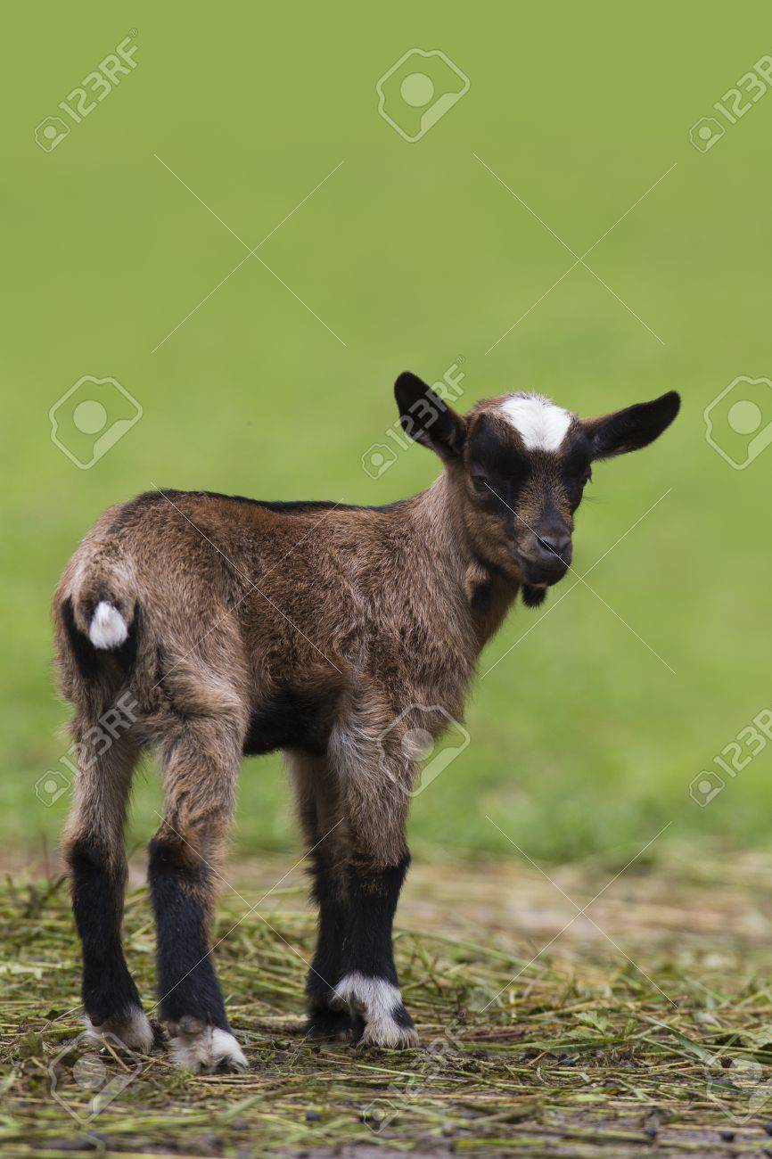 Brown baby goat looking at camera - 17276015