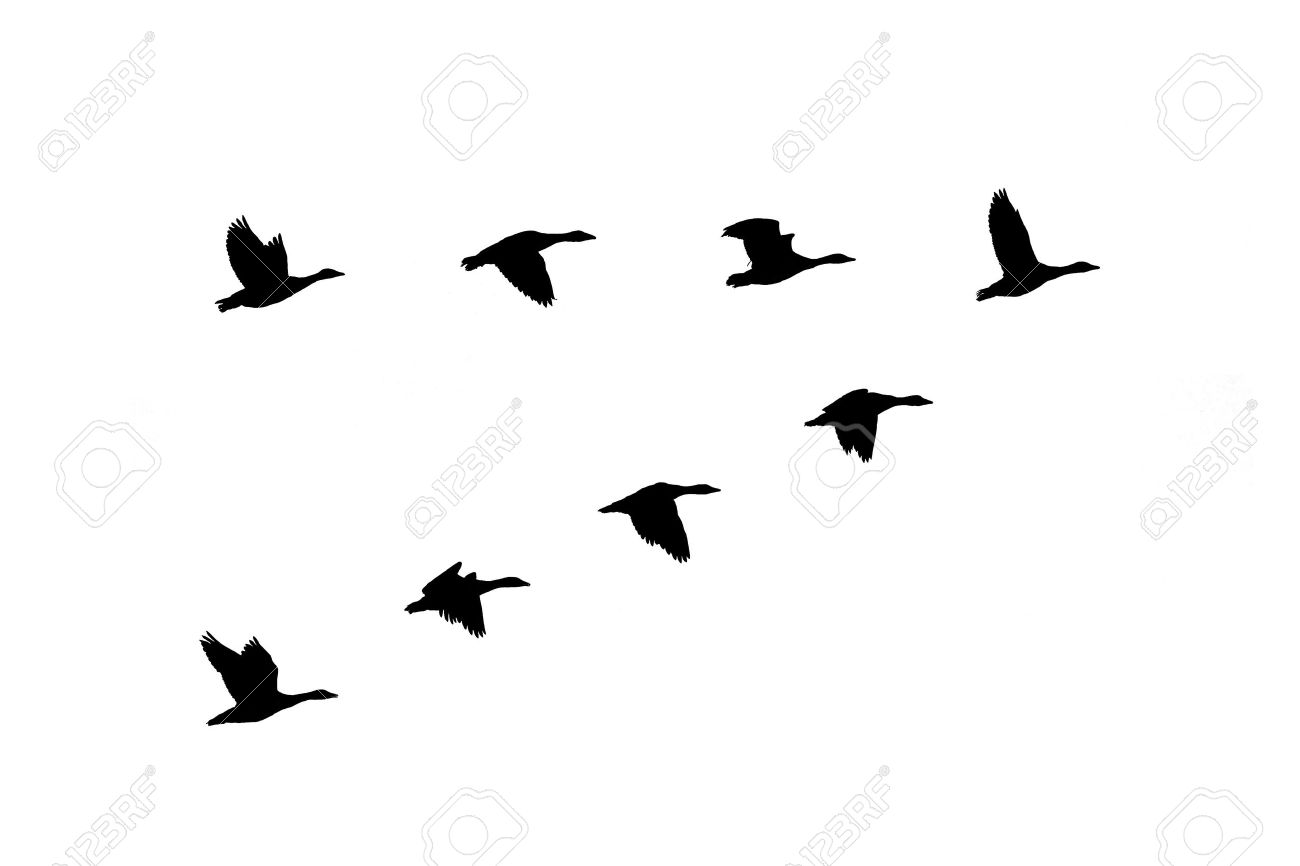silhouette of greylag geese anser anser flying in formation stock photo 17924973