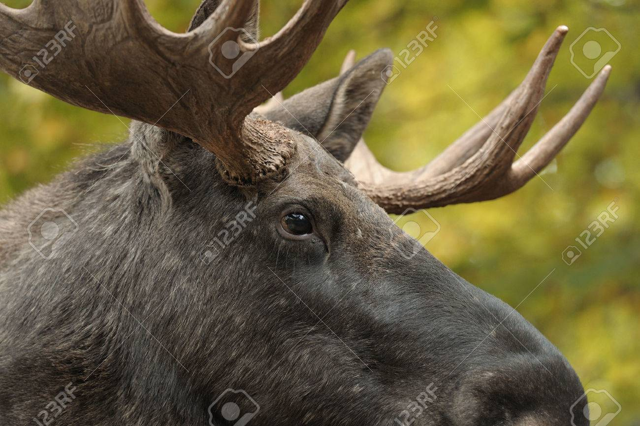 Close up of a moose head - 24477521