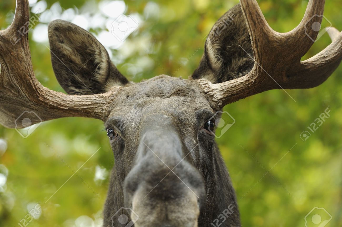close up of a moose head stock photo picture and royalty free