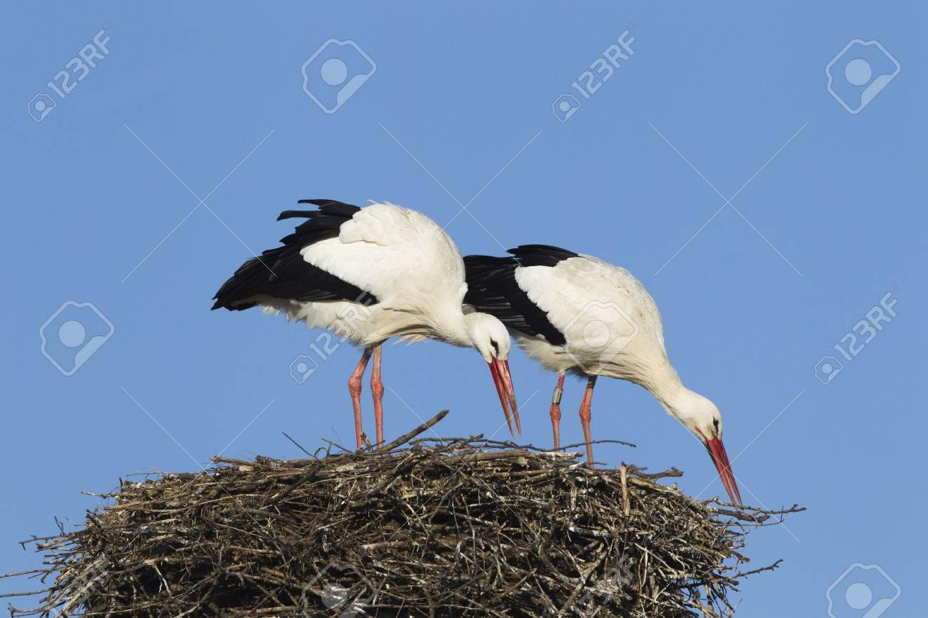 White stork pair building their nest, Germany. - 24696720