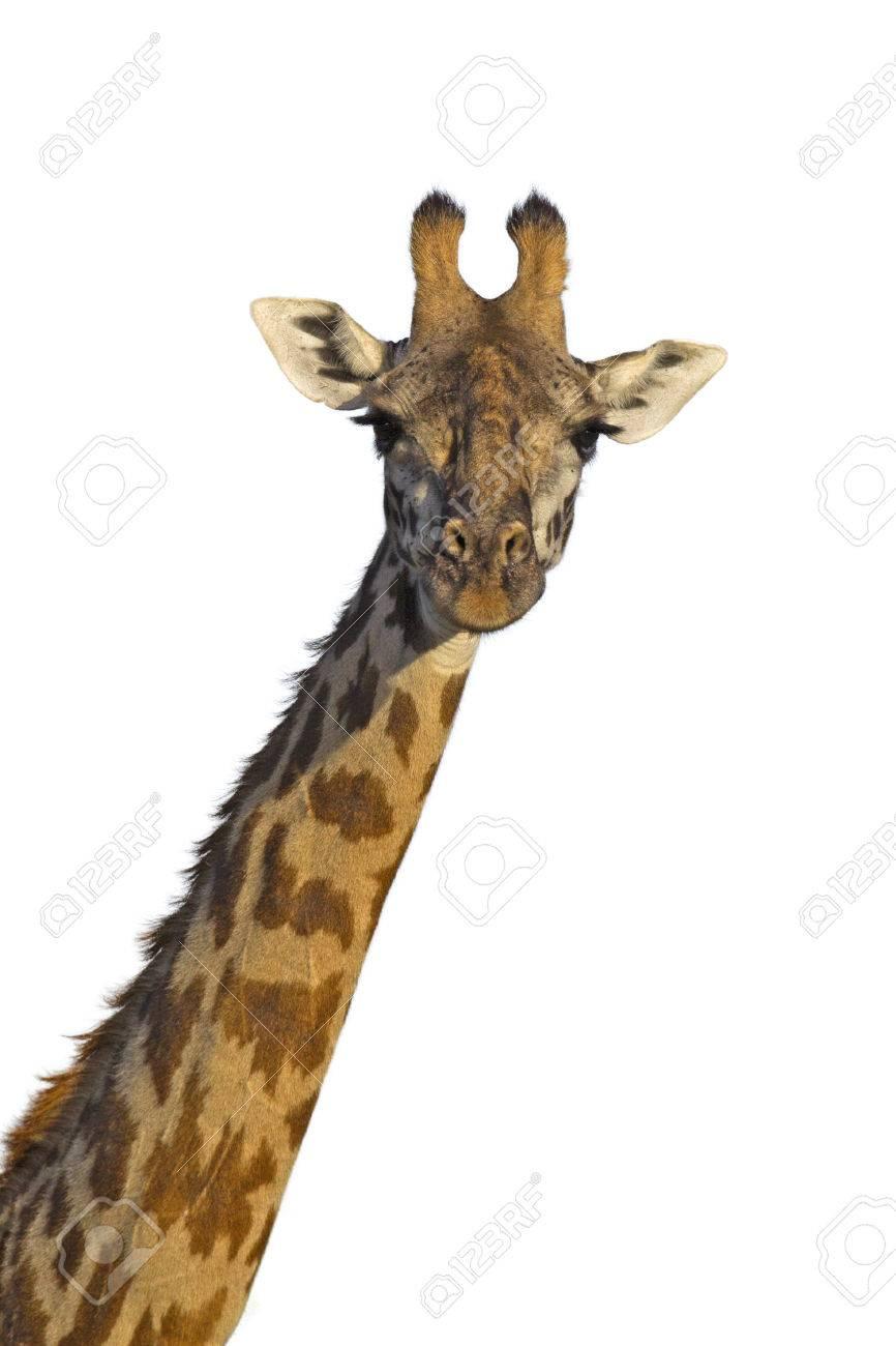 Isolated giraffe on white background - 24925369