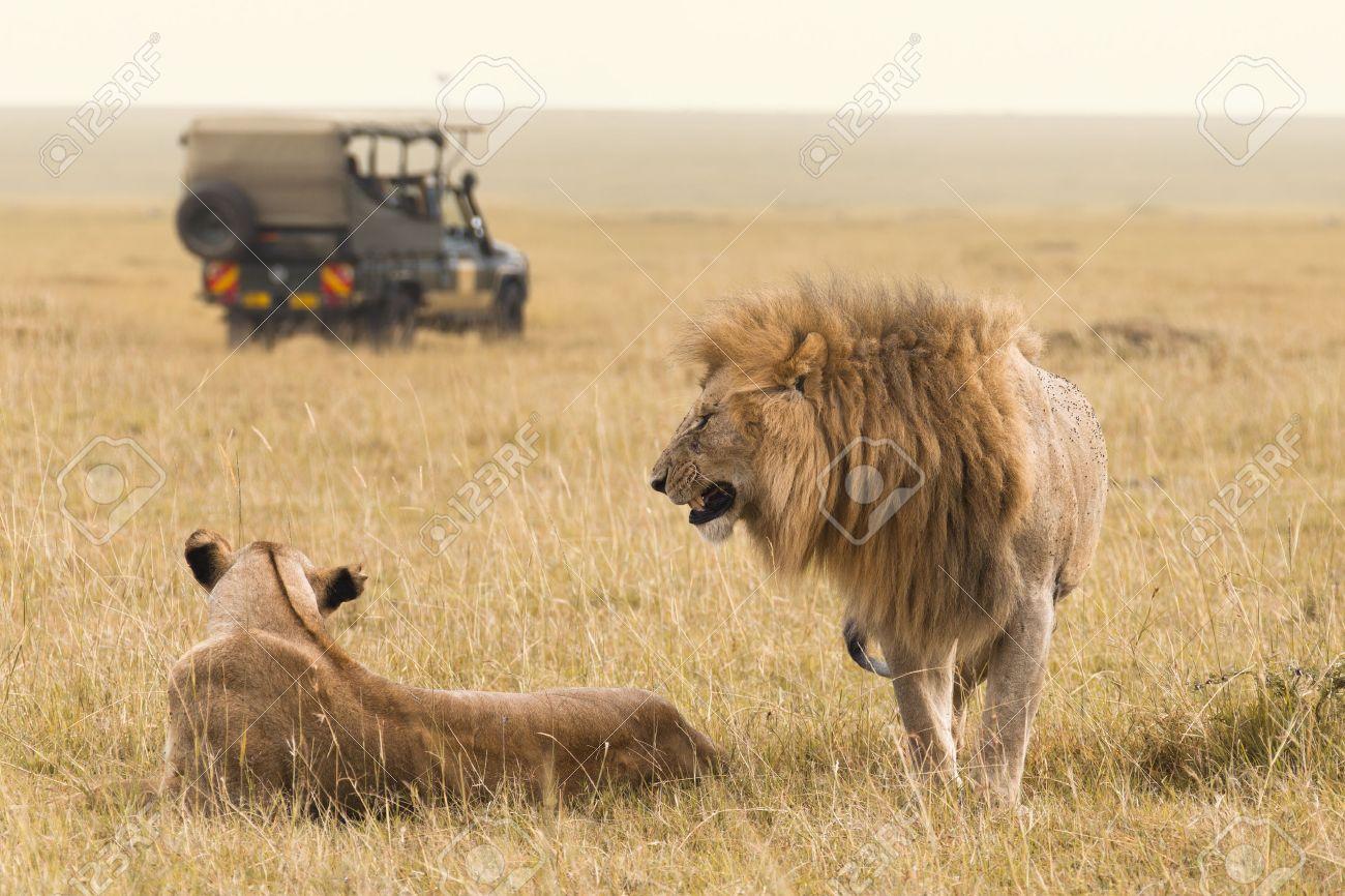 African lions and safari in Kenya - 24914431