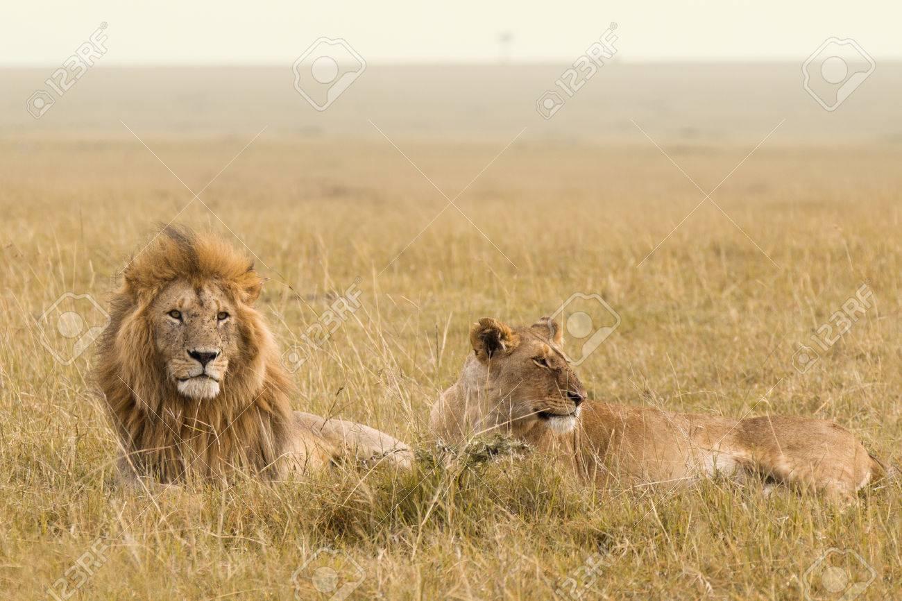 African lion couple in the Masai Mara in Kenya - 25278727