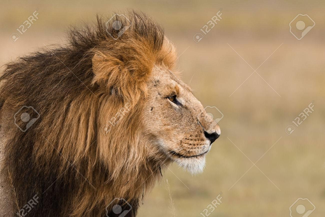 Portrait of a big male lion in Kenya - 25965950