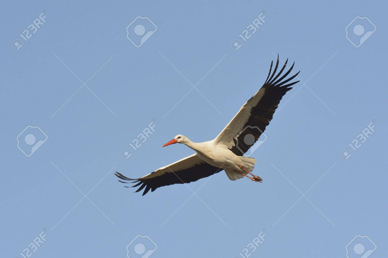 White stork in flight - 26984055