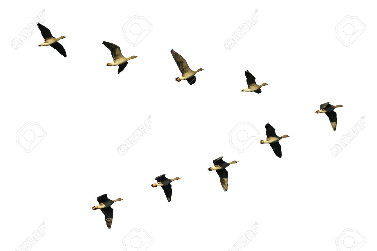 Flock of migrating bean geese flying in v-formation - 28040643