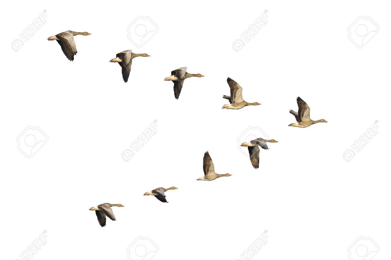 Flock of migrating greylag geese flying in V-formation. - 35376216