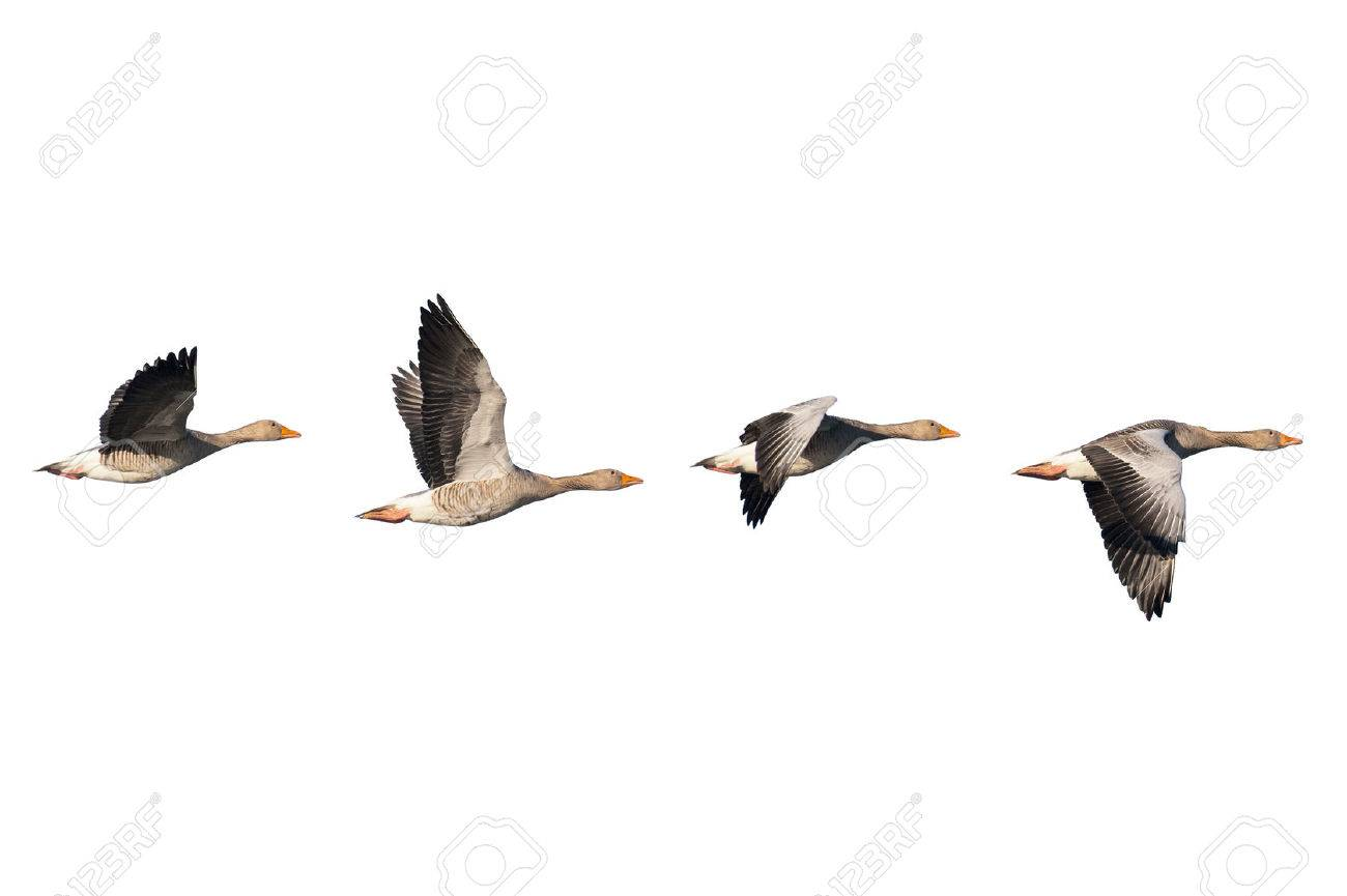 Four flying greylag geese isolated on white - 46180163