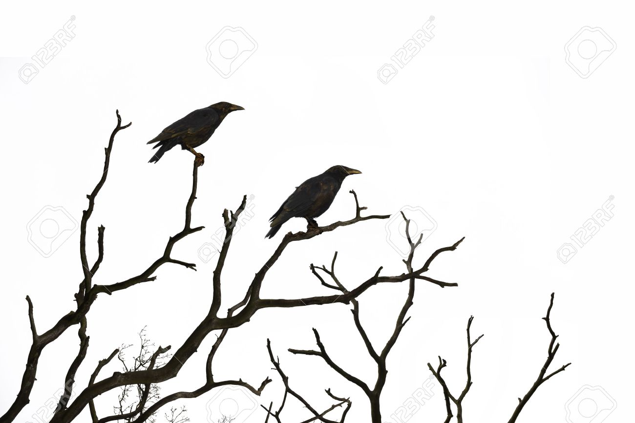 Dead tree with crows isolated on white background - 48094461