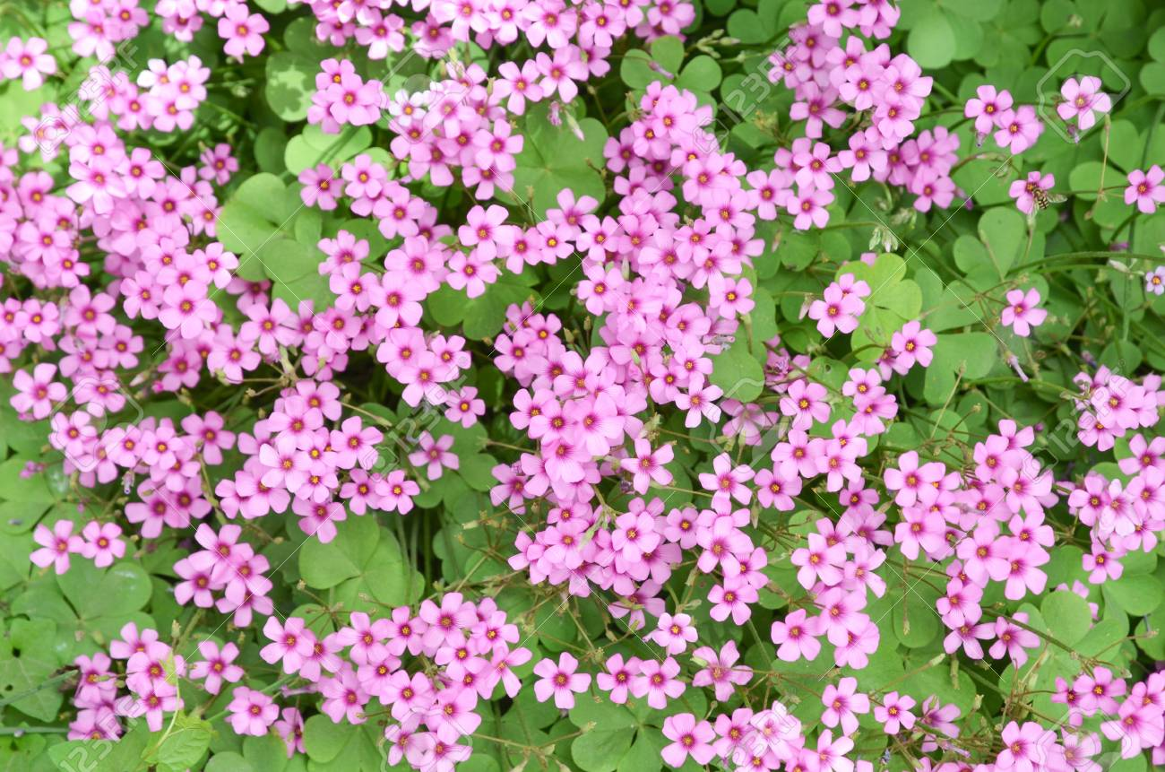Oxalis flower Stock Photo - 12700784