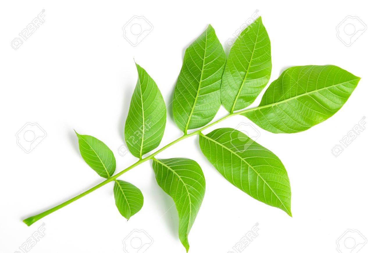 Walnut leaf - 14102257