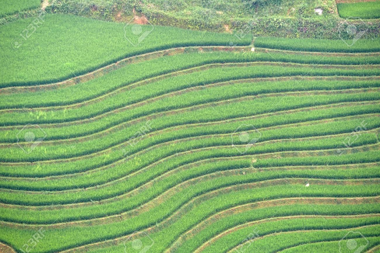 Terraza De Arroz Verde Del Norte De Vietnam Sapa