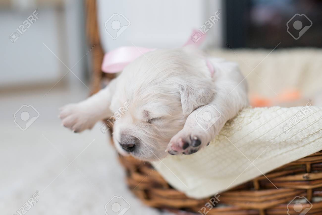 Portrait Of Two Weeks Old Golden Retriever Puppy In The Basket Stock Photo Picture And Royalty Free Image Image 120072166