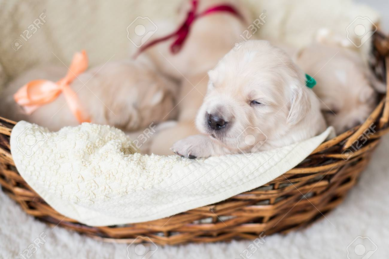 Portrait Of Two Weeks Old Golden Retriever Puppy In The Basket Stock Photo Picture And Royalty Free Image Image 120072176