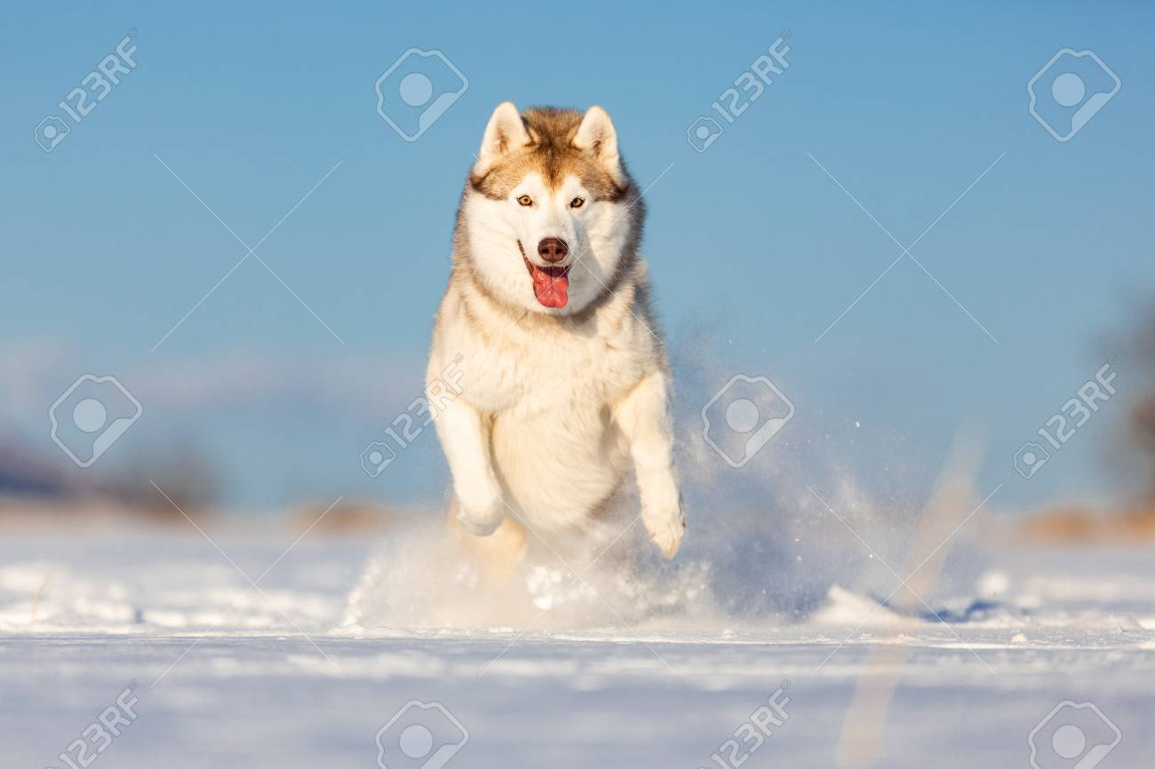 Crazy, happy and cute beige and white dog breed siberian husky with tonque out jumping and running on the snow in the winter field. husky dog has fun on blue sky background - 121412667